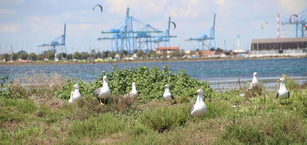 yellow-legged-gulls-crees-montpellier