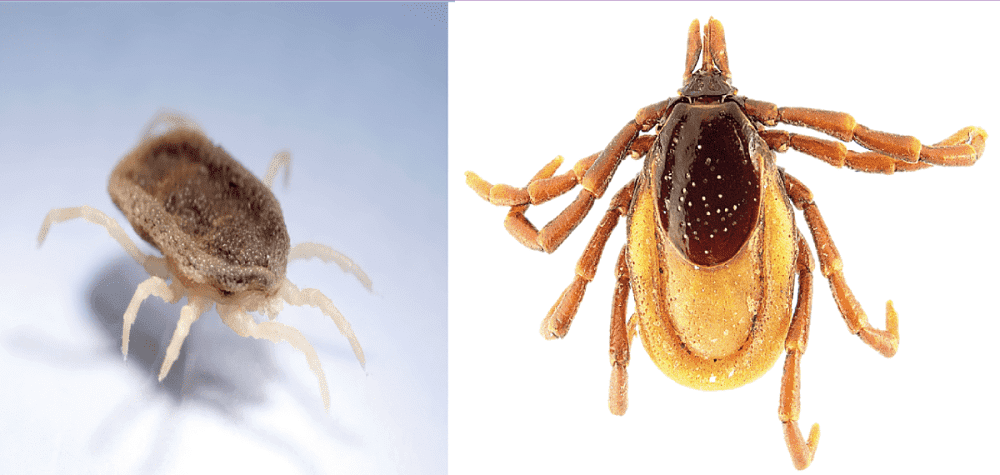 evolution-and-diversity-of-ticks-crees-montpellier